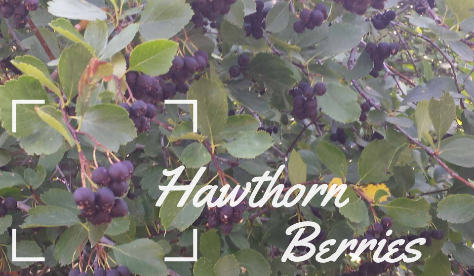 Wild Hawthorn Berries