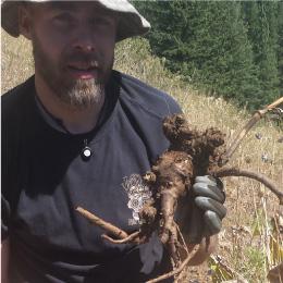 Lomatium Root