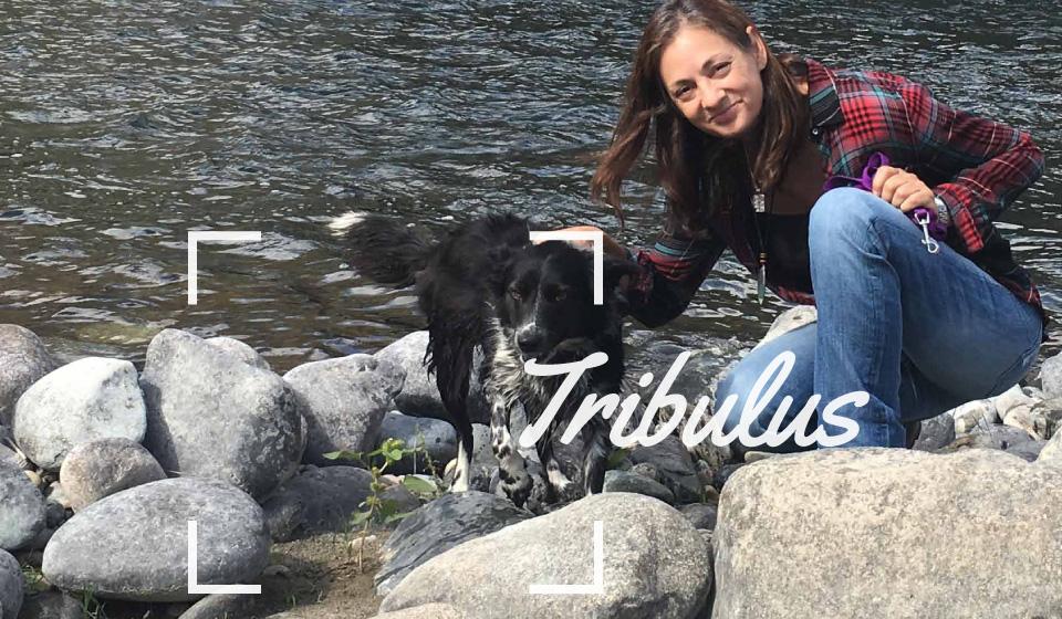 Wild Harvesting Tribulus